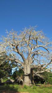 Baobab tree and fruit